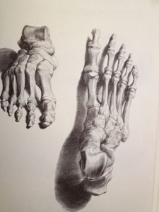 Human feet Drawing by Bernard Siegfried Albinus, anatomist of the 18th century